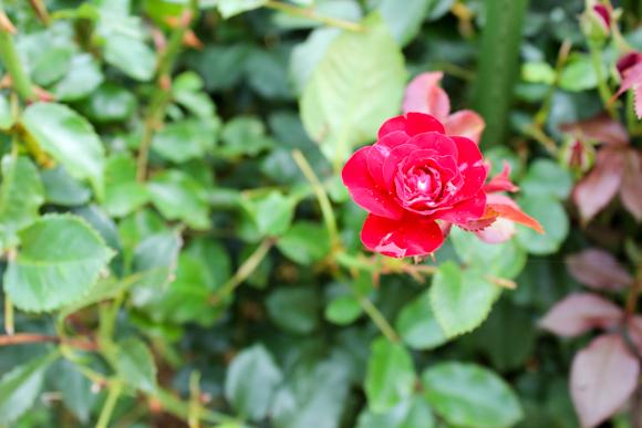 山頂公園の花