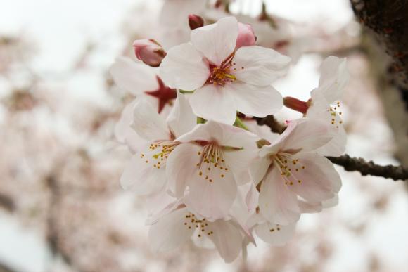 高槻の摂津峡公園で桜を見てきた話。